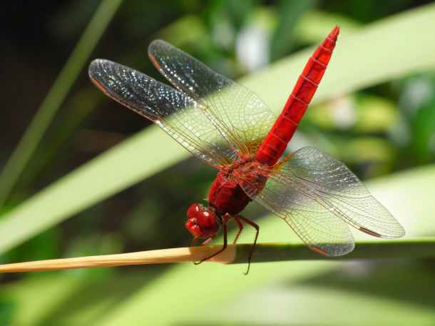 dragonfly-insect-common-skimmer-bug